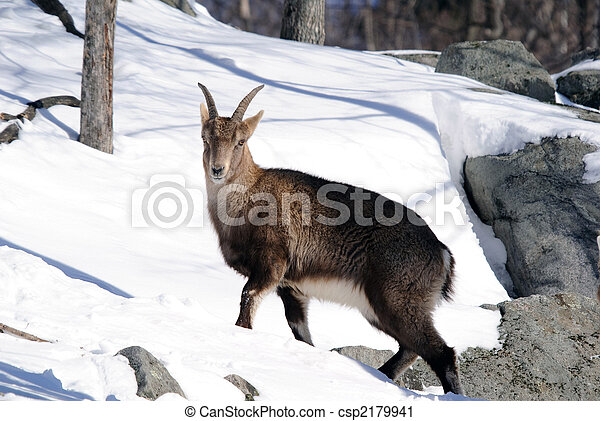 Alpine Ibex - csp2179941