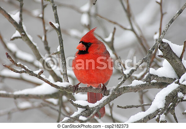 Cardinal In Snow - csp2182373