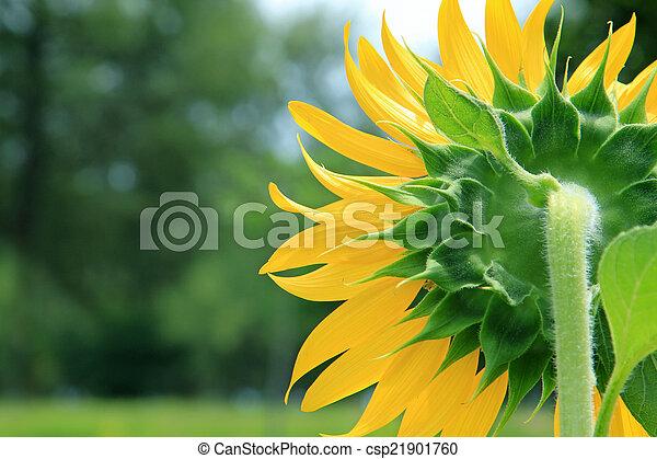 Sunflowers - csp21901760