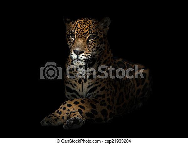 jaguar ( Panthera onca ) in the dark