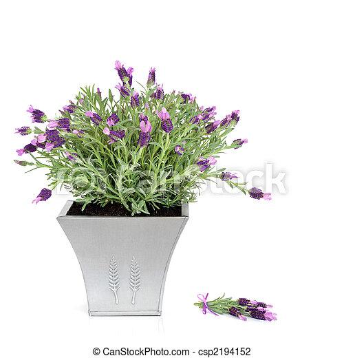 Archivi fotografici di erba pianta lavanda lavanda for Pianta lavanda in vaso