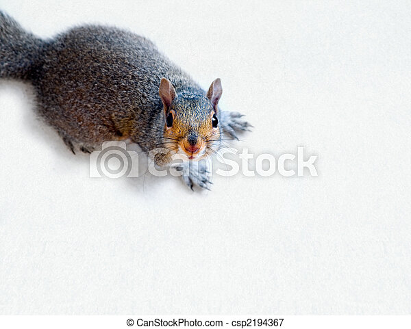 Eastern Grey Squirrel - csp2194367