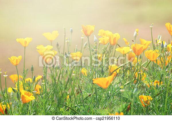 close-up of California Golden Poppy flowers, yellow flowers summ