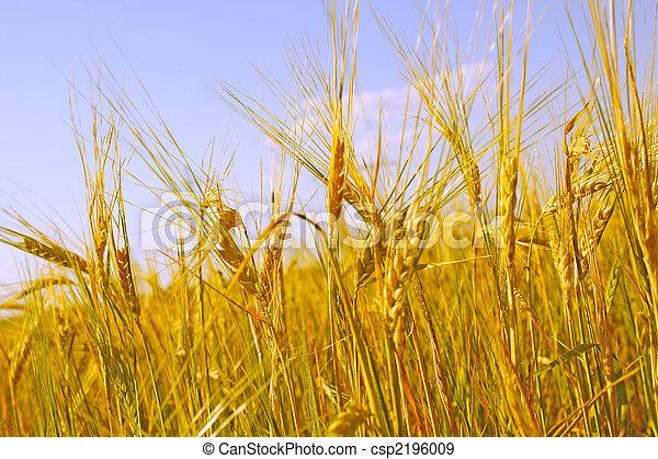 Crop of rye - csp2196009
