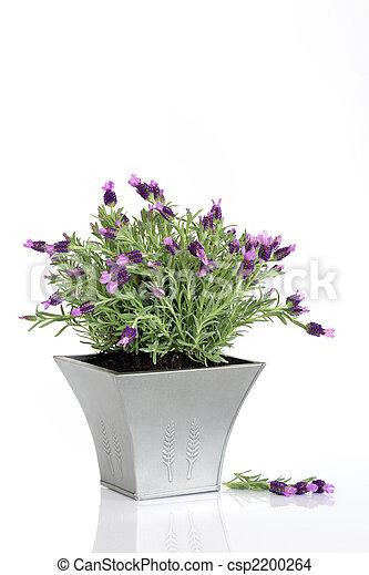 stock foto von lavendel kraut blumen lavendel kraut. Black Bedroom Furniture Sets. Home Design Ideas