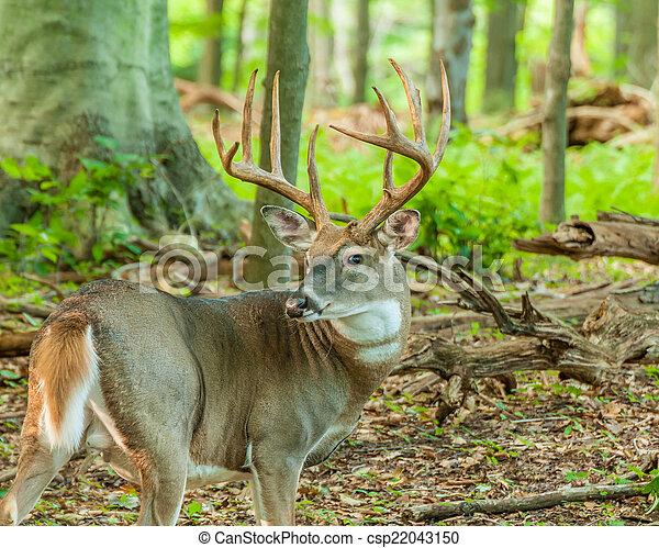 Whitetail Deer Buck - csp22043150