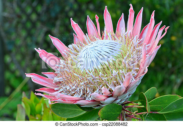 Pink King protea flower - csp22088482