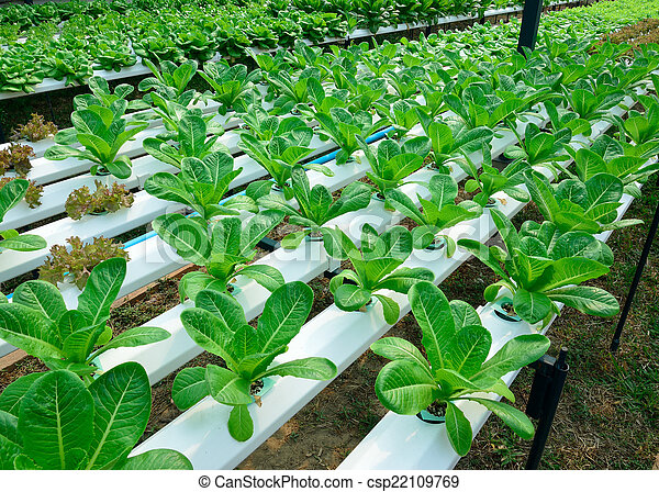 green lettuce, cultivation hydroponics green vegetable in farm