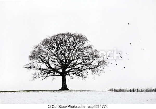 Oak Tree in Winter - csp2211774