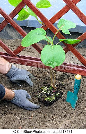 photographies de planter kiwi plante 04 csp2213471 recherchez des photos des images et. Black Bedroom Furniture Sets. Home Design Ideas