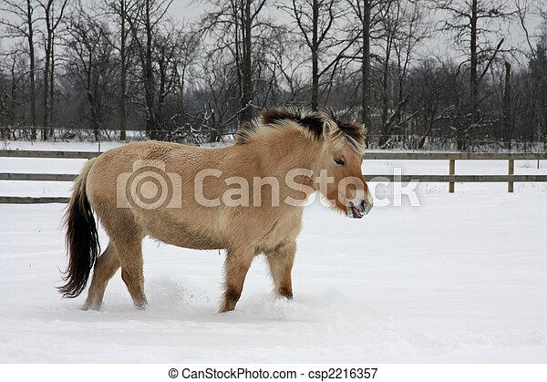 Norwegian Fjord Horse - csp2216357