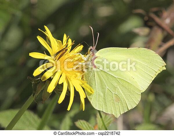 brimstone butterfly on dandelion flower - csp2218742