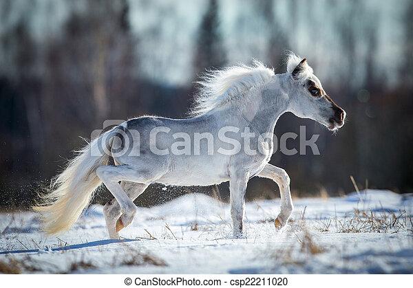 Miniature white horse runs in snow