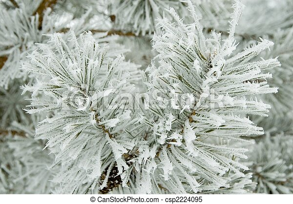 Pine branches covered by fresh frost - csp2224095
