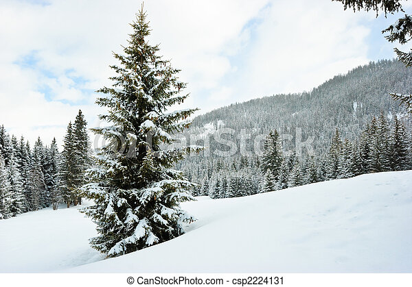 Fir trees on winter mountain - csp2224131