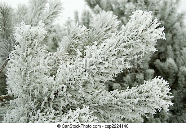 Pine branches covered by fresh frost - csp2224140