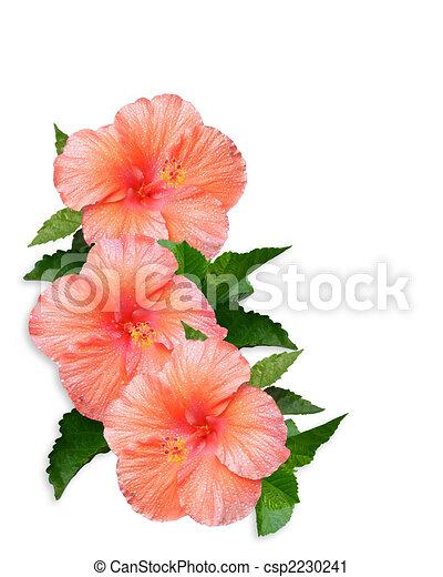Hibiscus Flowers white background - csp2230241