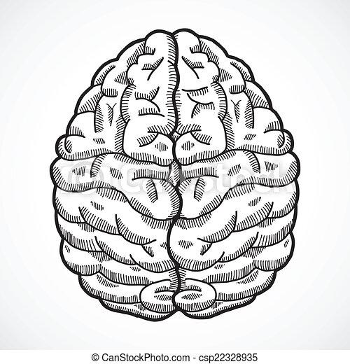 Brain Drawing Top View Human Brain Cortex Top View
