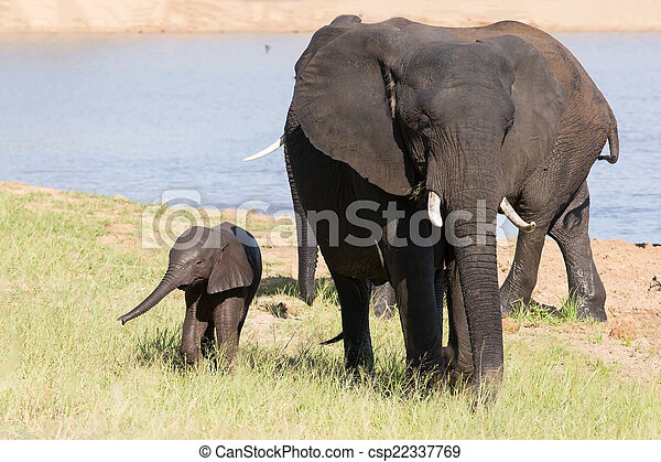 Elephant herd walking over grass after drinking water on hot day - csp22337769