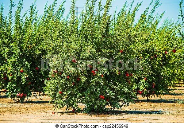 photo de grenade culture pomegranate cultivation pomegranate csp22456949 recherchez. Black Bedroom Furniture Sets. Home Design Ideas