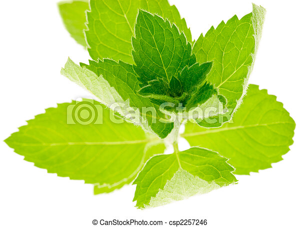 Corn Mint - csp2257246