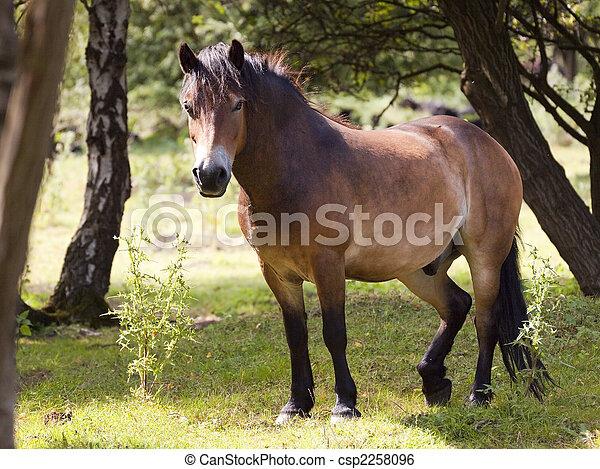 exmoor pony in forest 2 - csp2258096