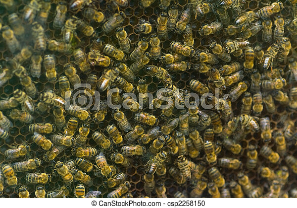 Honeybees on honeycomb - csp2258150