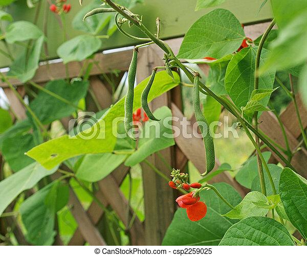Runner beans - csp2259025
