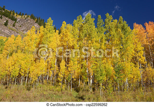 yellow aspen - csp22599262