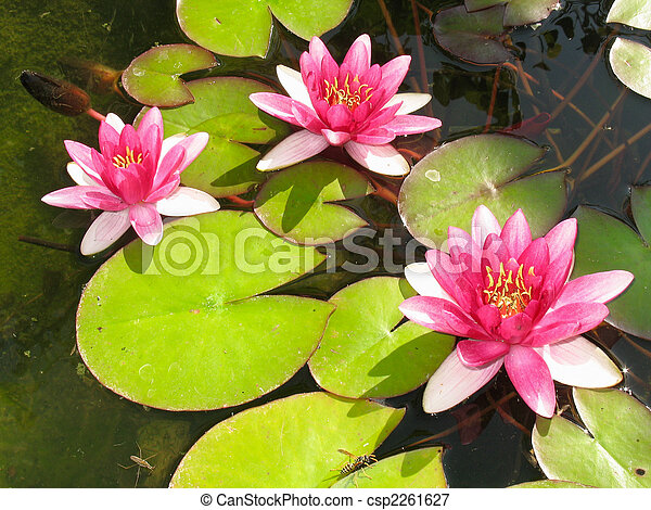 Beautiful Blooming Red Water Lily Lotus... - Royalty Free ...
