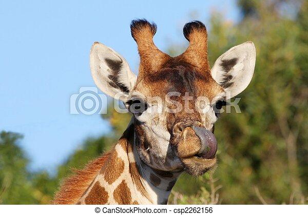 Giraffe and Tongue - csp2262156