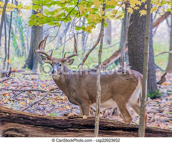 Whitetail Deer Buck - csp22623652