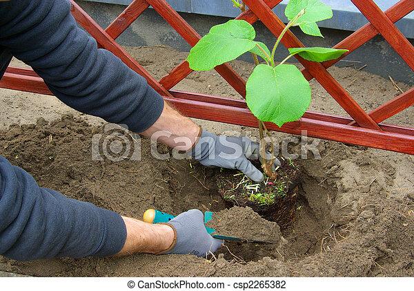 photo de kiwi planter plante 01 planter a kiwi plante 01 csp2265382 recherchez des. Black Bedroom Furniture Sets. Home Design Ideas