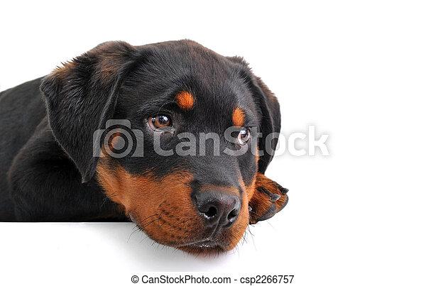Rottweiler, Filhote cachorro - csp2266757
