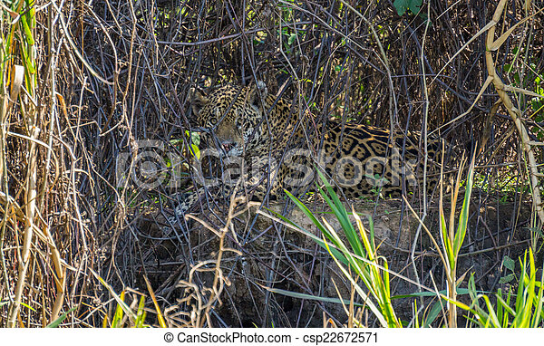 Wild Jaguar behind plants in riverbank, Pantanal, Brazil