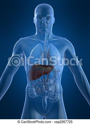 human liver - csp2267725