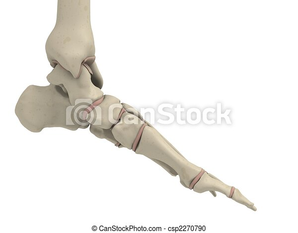 skeletal foot - csp2270790