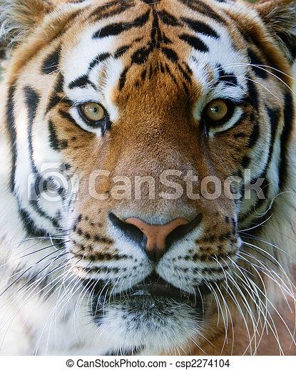荒野,  tiger, 臉 - csp2274104