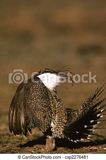 Strutting Male Sage Grouse - csp2276481
