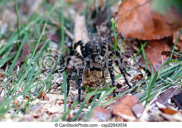 tarantula spider with big eyes - csp22843034