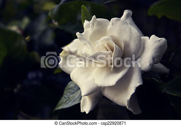 Toned image of a white gardenia flower