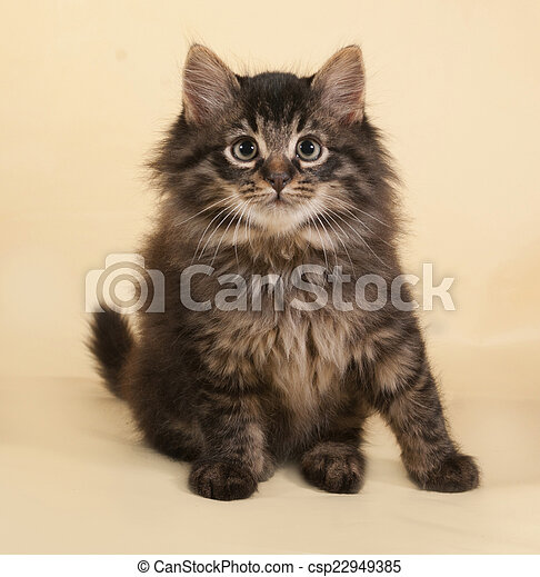Fluffy small striped kitten sitting on yellow