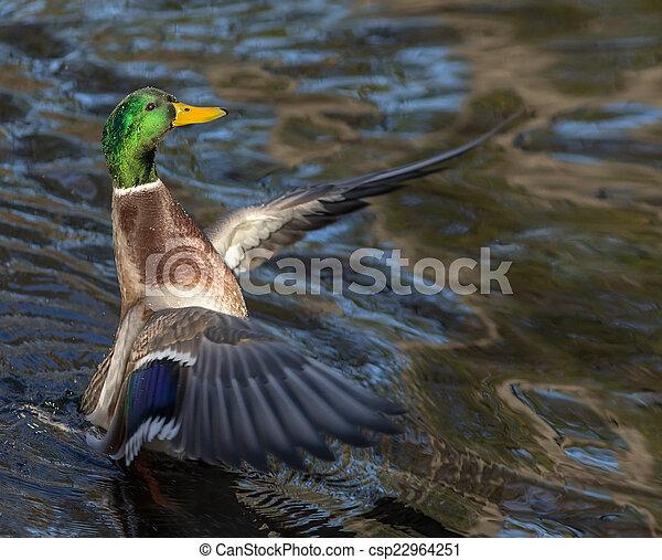 duck grace