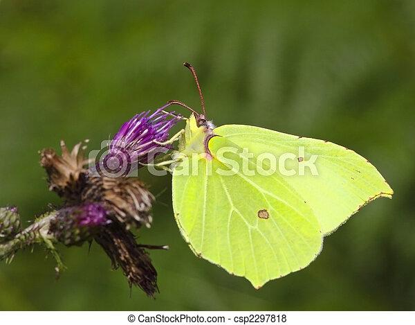 brimstone butterfly on flower 2 - csp2297818