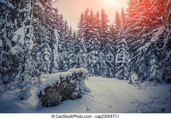 Winter sunrise in the mountain forest with fir-trees and fresh s