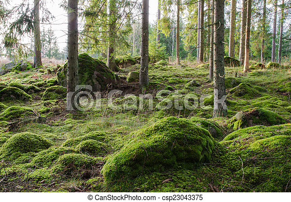 Bright and mossy coniferous forest - csp23043375
