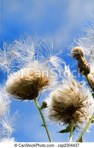 thistle in the wind - csp2304437