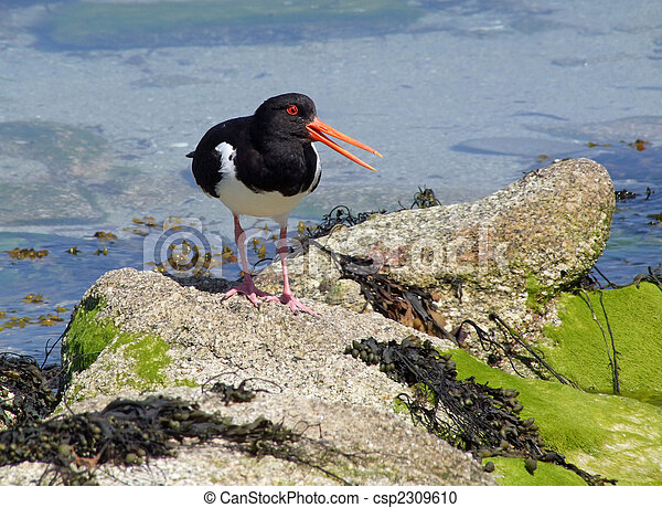 Oystercatcher with an open beak, Isles of Scilly, UK. - csp2309610