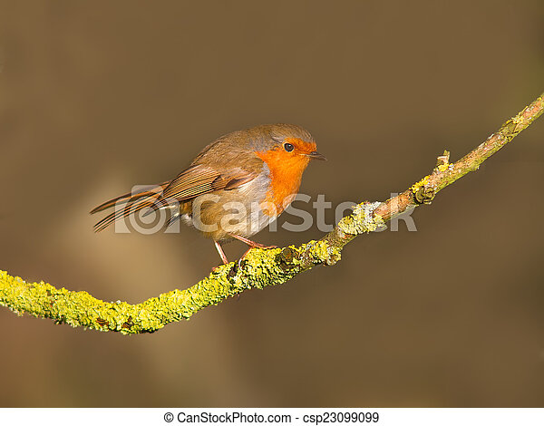 Robin on a branch - csp23099099