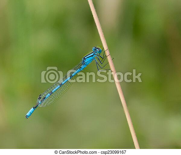 Common Blue Damselfy - csp23099167